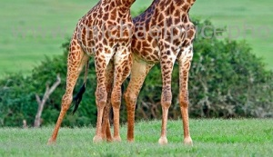Giraffe-Couple just legs