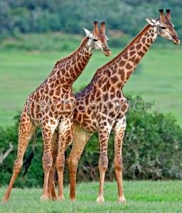 Giraffe-Couple