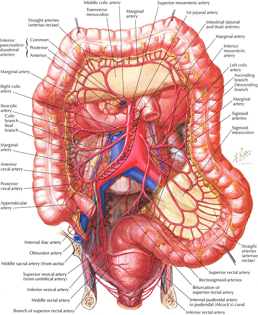 Anatomy of the intestine