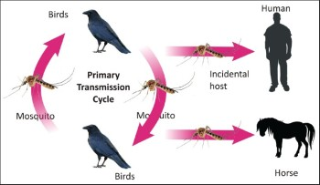 West Nile transmission chart