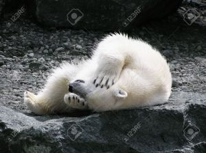 Polar-bear-rolling-on-its-back-holding-its-head